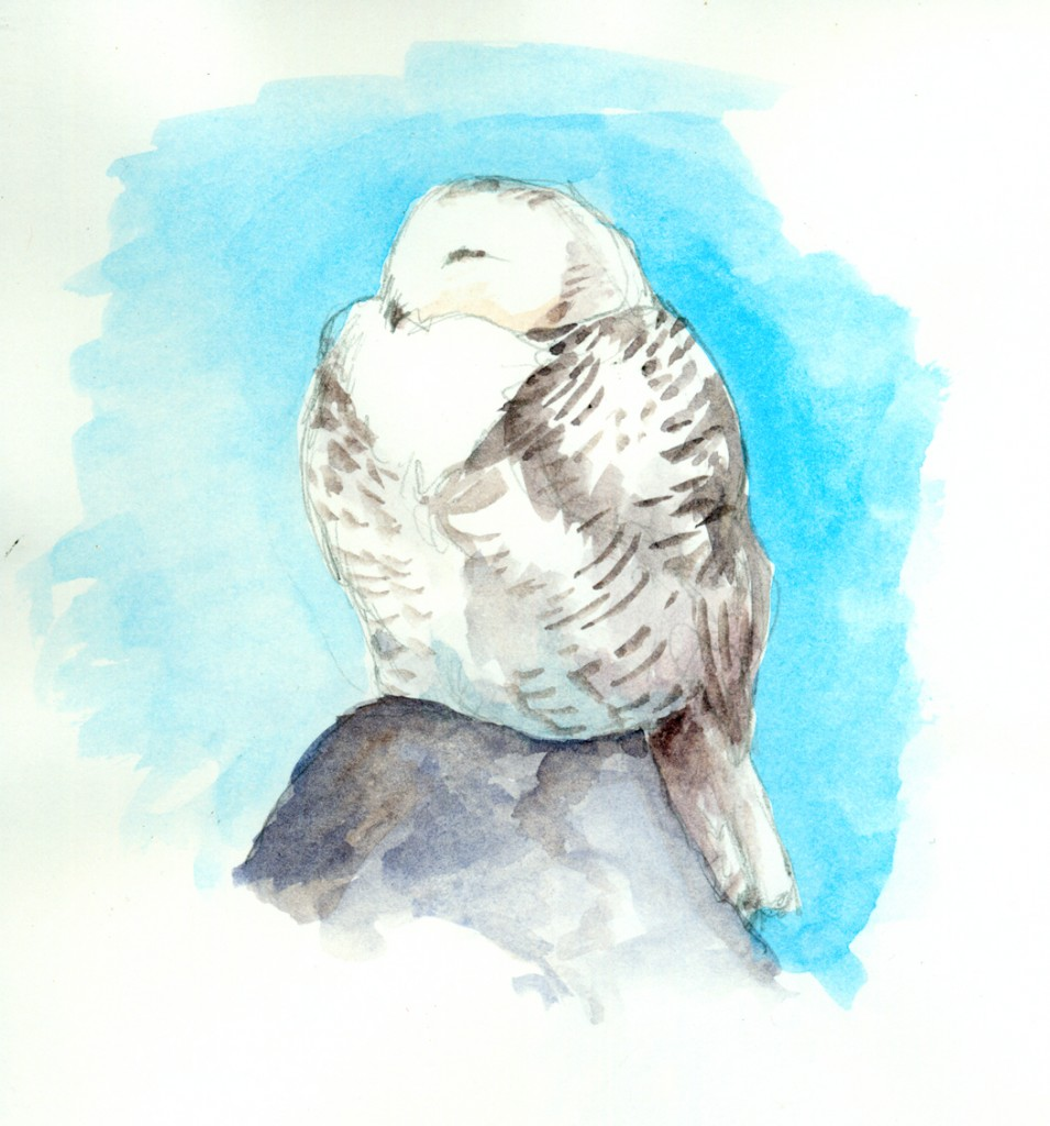Snowy Owl watercolor sketch