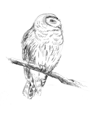 Barred owl pencil sketch